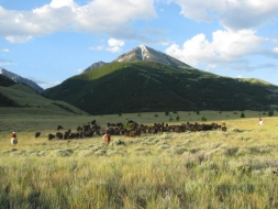 <h5>Moving Cows to Summer Pasture...</h5><p>07/06/2011 </p>
