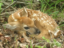 <h5>Whitetail Fawn  </h5>