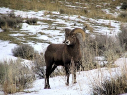 <h5>Bighorn Ram</h5>
