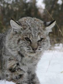 <h5>Bobcat</h5>