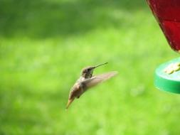 <h5>Hummingbird</h5>