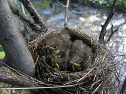 <h5>Thrush Nest </h5>