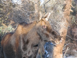 <h5>Young Bull Moose </h5>