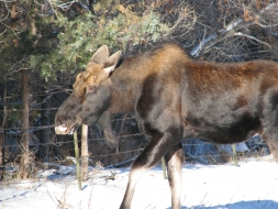 <h5>Young Bull Moose</h5>