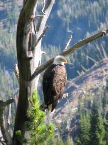 <h5>Bald eagles </h5>