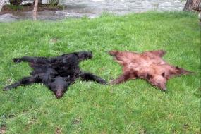 <h5>A pair of  beautiful bears!  </h5><p>5/16/2015</p>