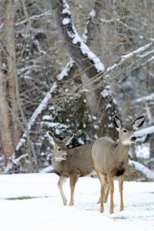 <h5>Mule Deer</h5>