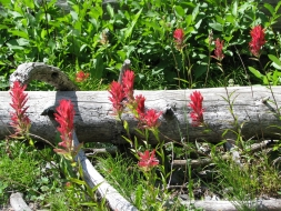 <h5>Indian Paintbrushes</h5>