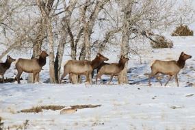 <h5>Elk</h5>